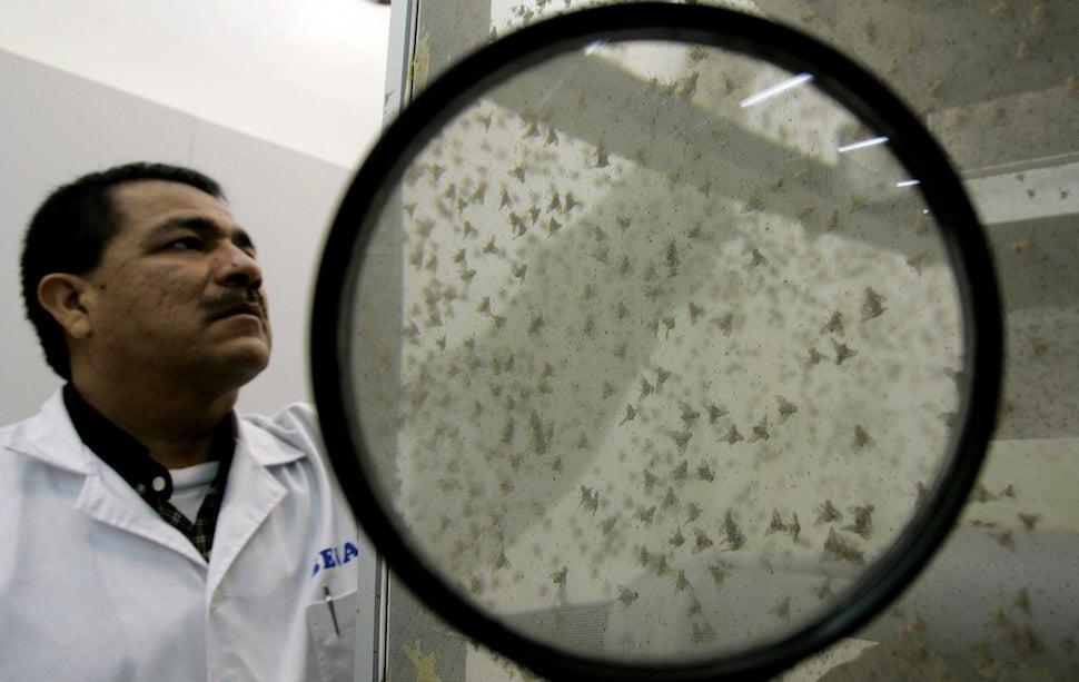 Why Do Tiny Fruit Flies Have Giant Sperm?