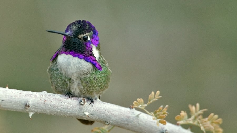 These Male Hummingbirds Manipulate The Sound Of Their Flying To Attract Mates