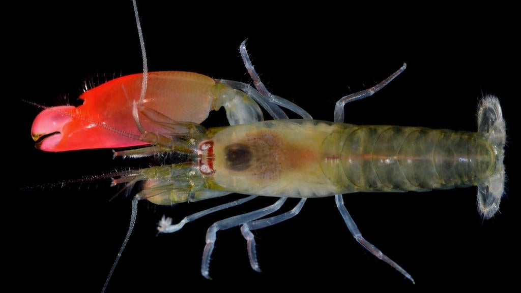 Newly Discovered Chill Dad Prawn Gets Best Name Ever
