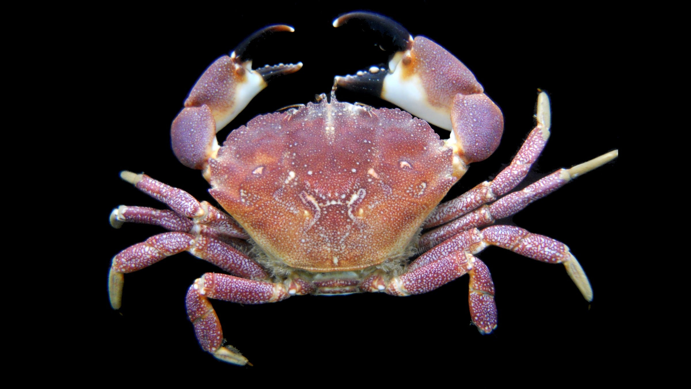 These Female Crabs Store A Load Of Sperm