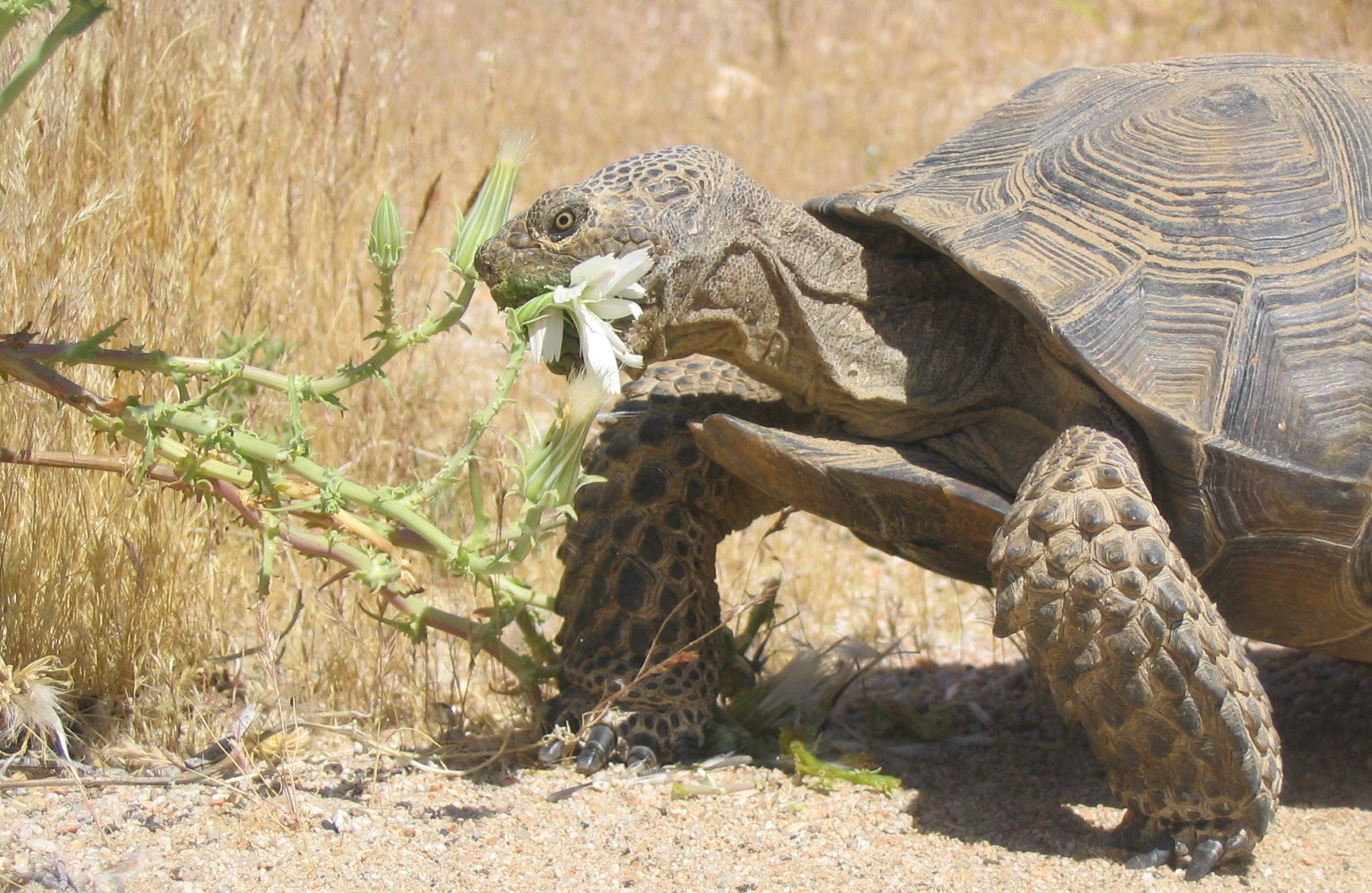 Male Tortoises Mysteriously Stop Boning