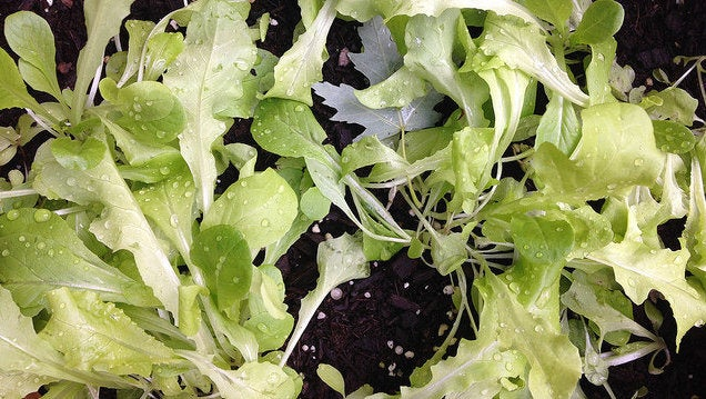Grow Baby Lettuce to Always Have Fresh Salads On Hand