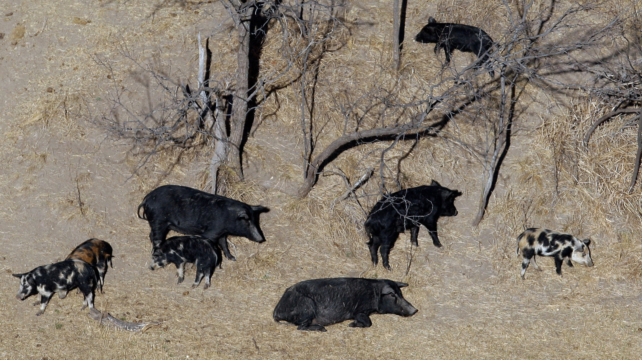 If You Think 30-50 Feral Hogs Sounds Bad, Just Wait