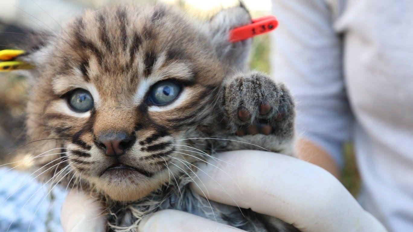 How To Tell A Bobkitten From A Regular Kitten