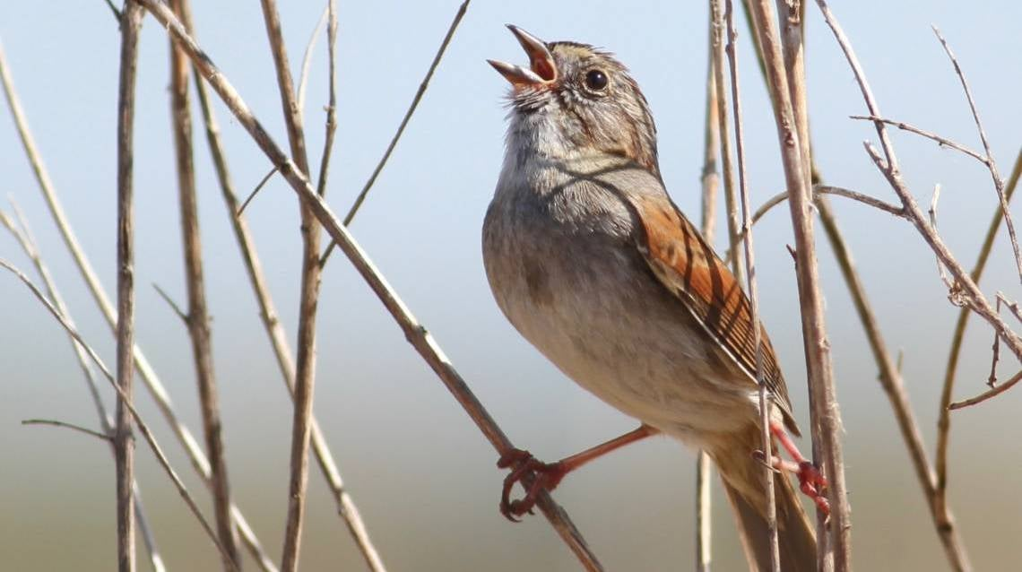 Swamp Sparrows Display Evidence Of Centuries-Old Tradition In Their Songs
