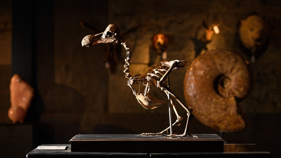 This Dodo Skeleton Just Sold Over Half A Million Dollars