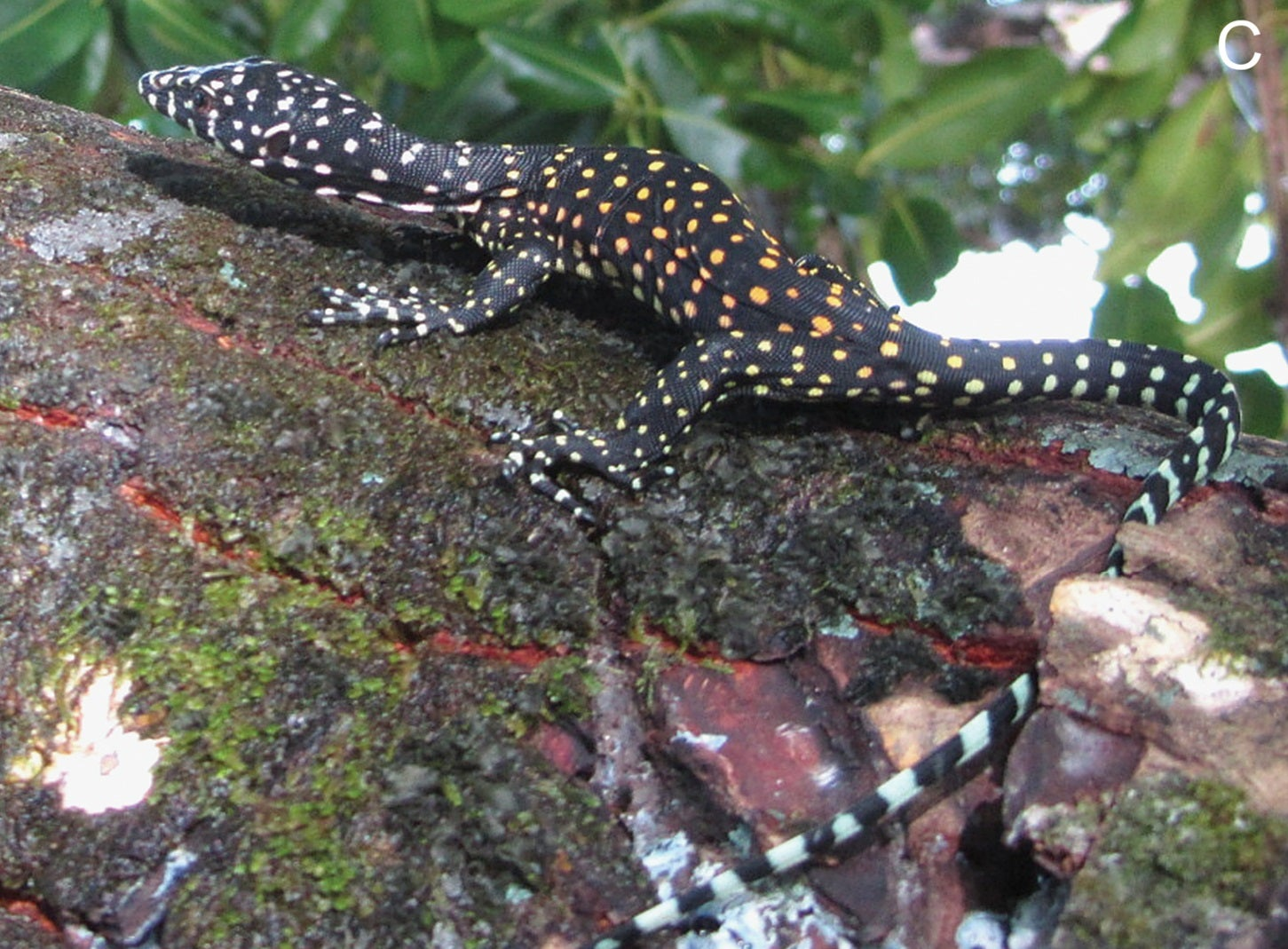 Meet the Million-Year-Old Lizard Species We Didn't Know Existed Until Now
