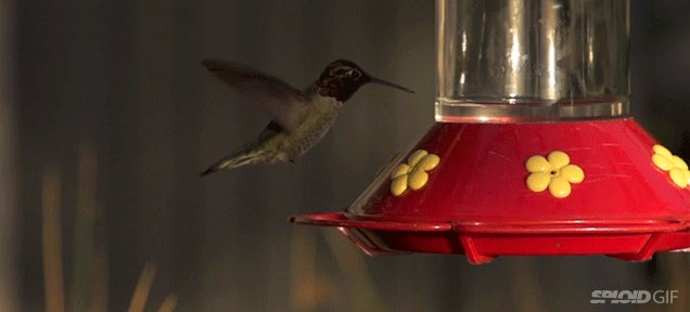 Look how amazingly still a hummingbird's body is when it flies