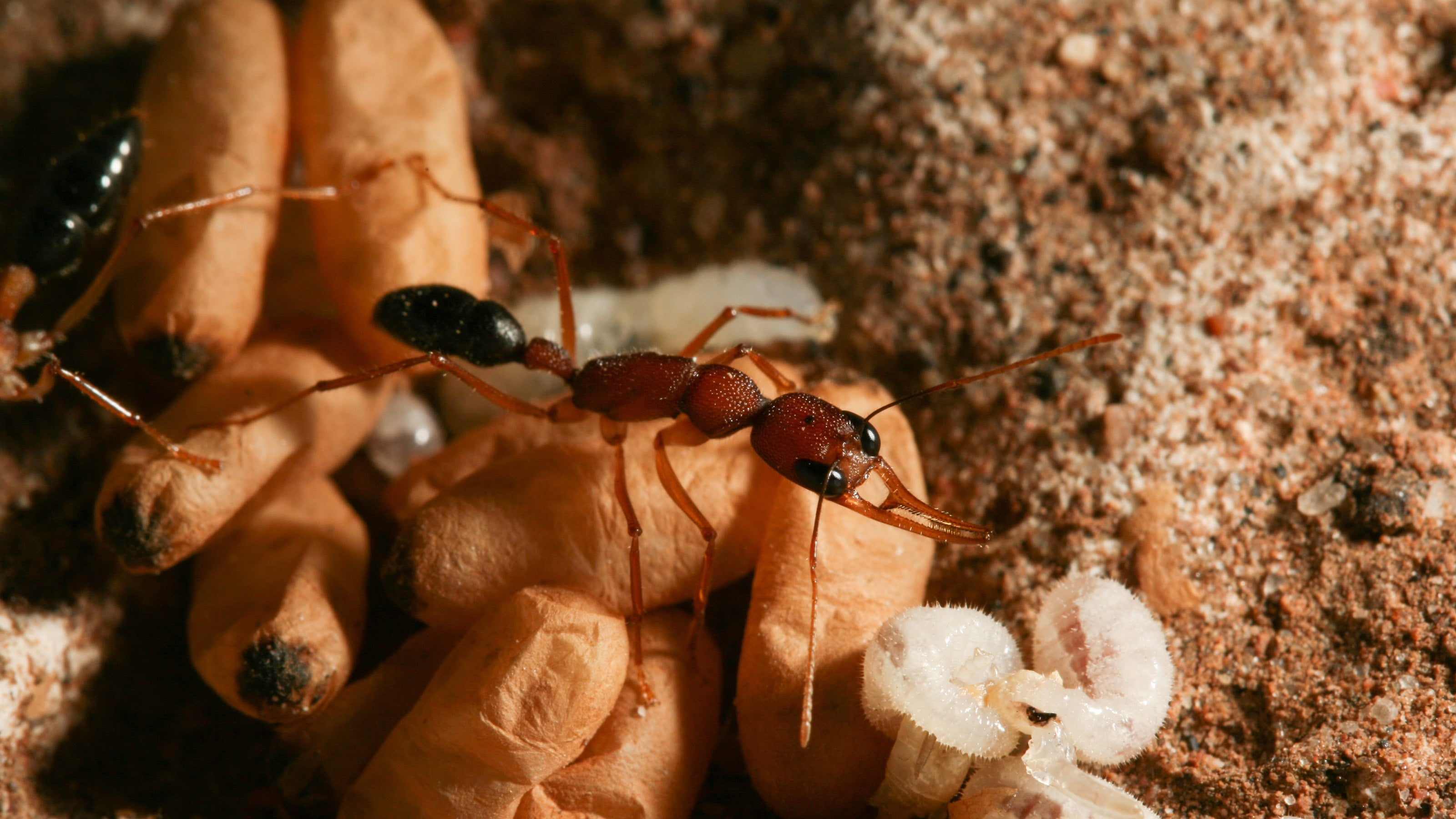 These Ants Do A Lion King-Like Ritual But With Chemicals