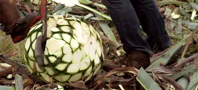 How to Turn Agave Into Tequila