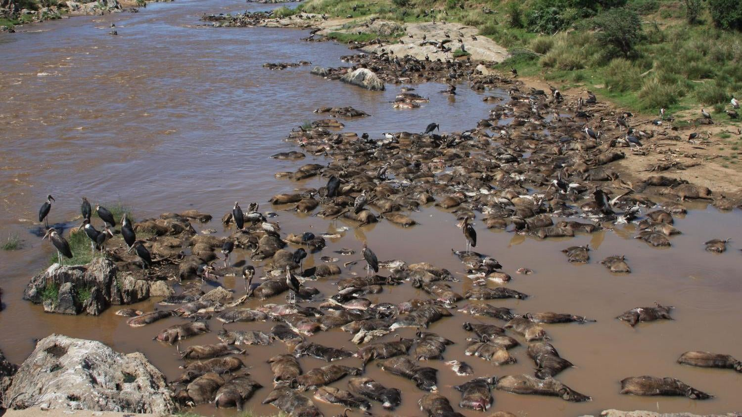 Rotting Wildebeest Carcasses Are A Force Of Nature In The Serengeti
