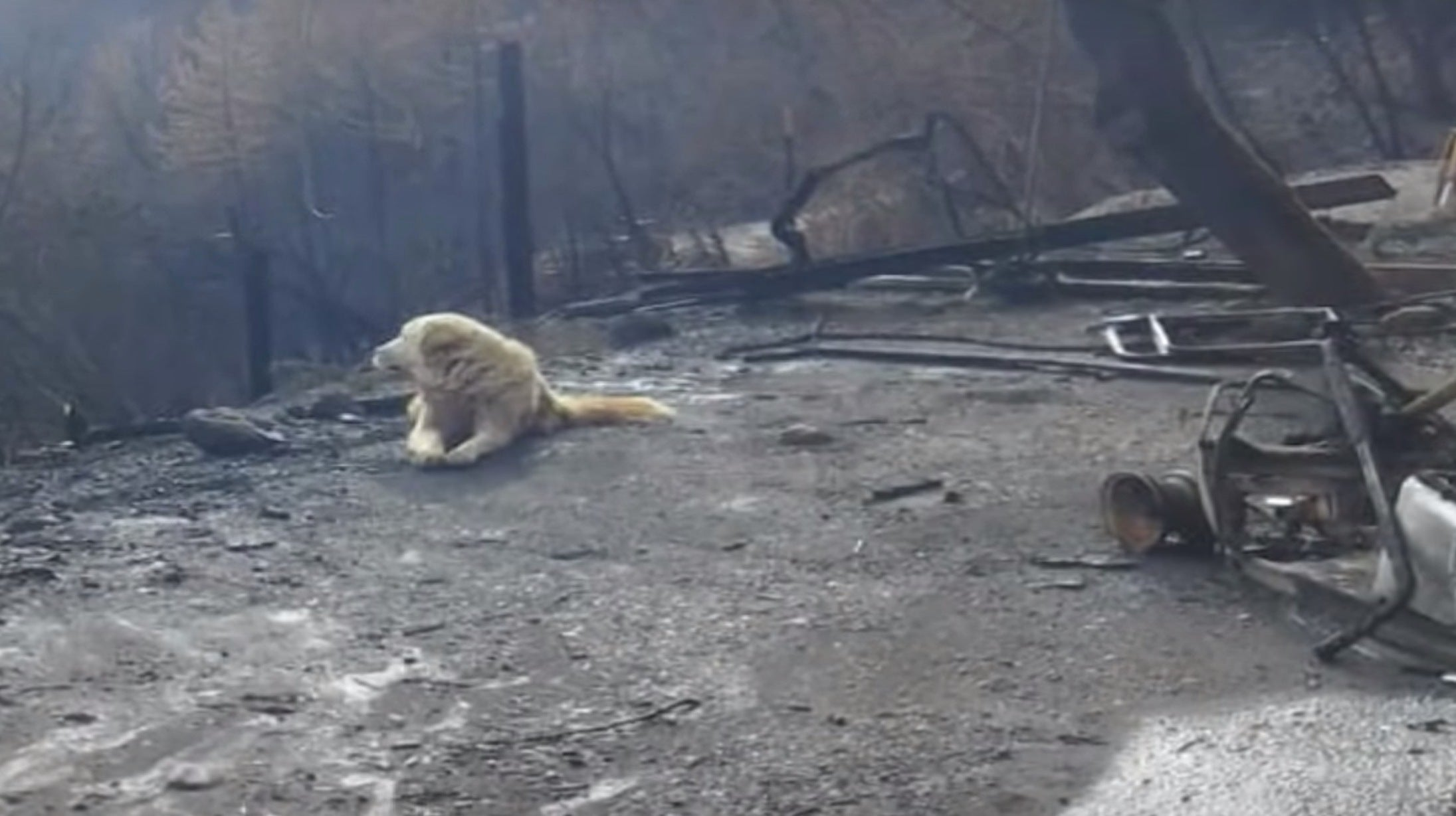 Good Boy Who Survived The Camp Fire Guarded His Family's Home For Nearly A Month