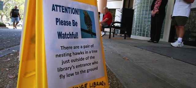 Dive-Bombing Hawks Force Florida Library-Goers to Cower Under Umbrellas