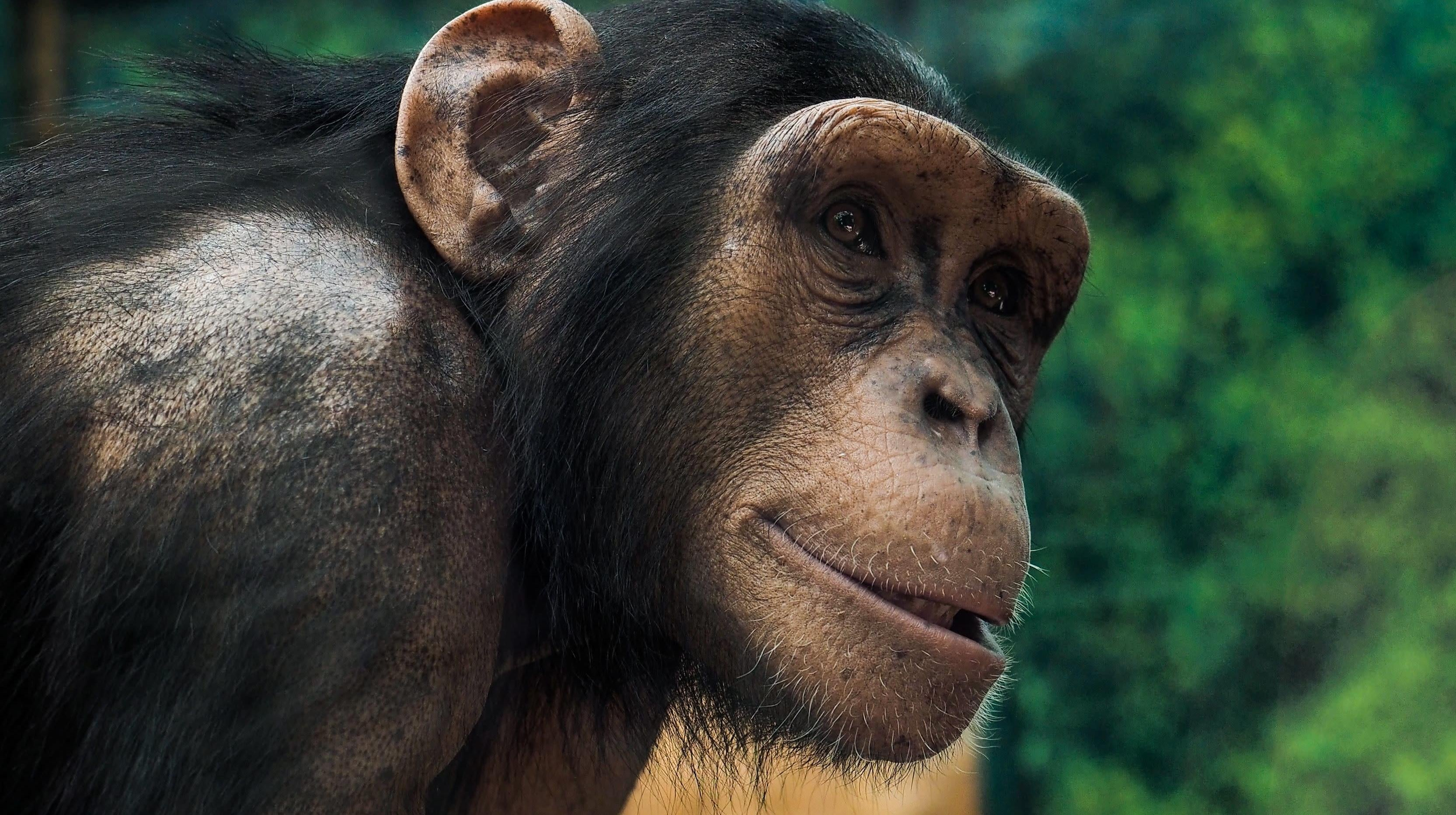 Zoo Chimps Doing A 'Conga Line' Could Teach Us How Humans Evolved To Dance