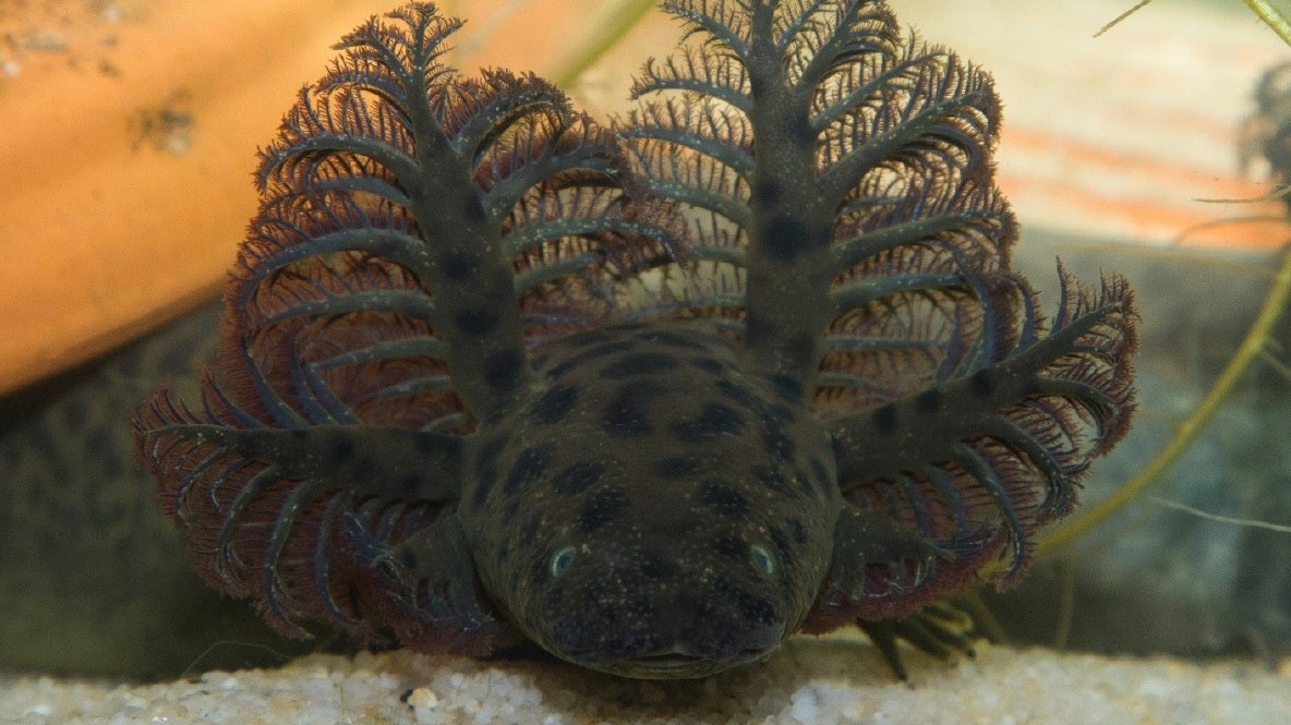 Nearly Mythical 3-Foot-Long Swamp Salamander Is Officially A Real Species