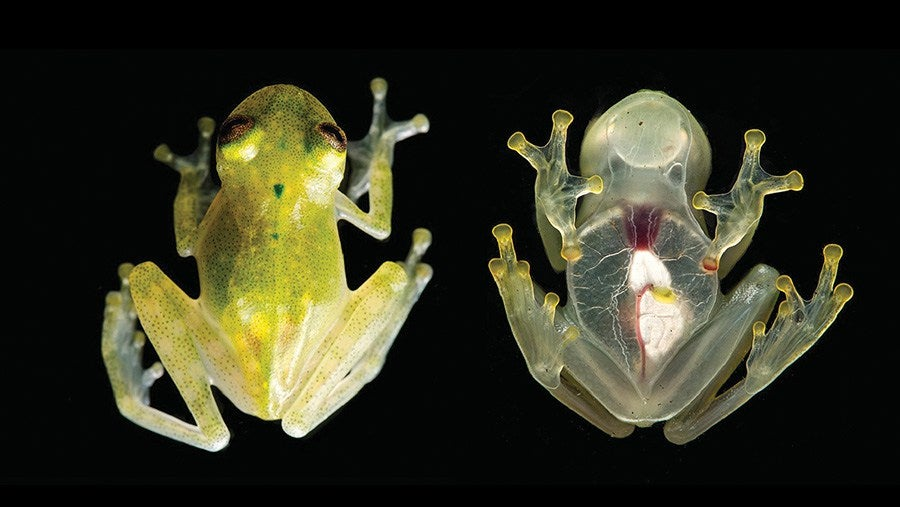 This Freaky Frog Is So Transparent You Can See Its Internal Organs