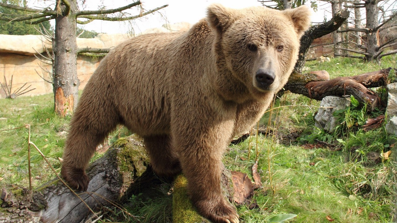 DNA Evidence Shows Yeti Was Local Himalayan Bears All Along