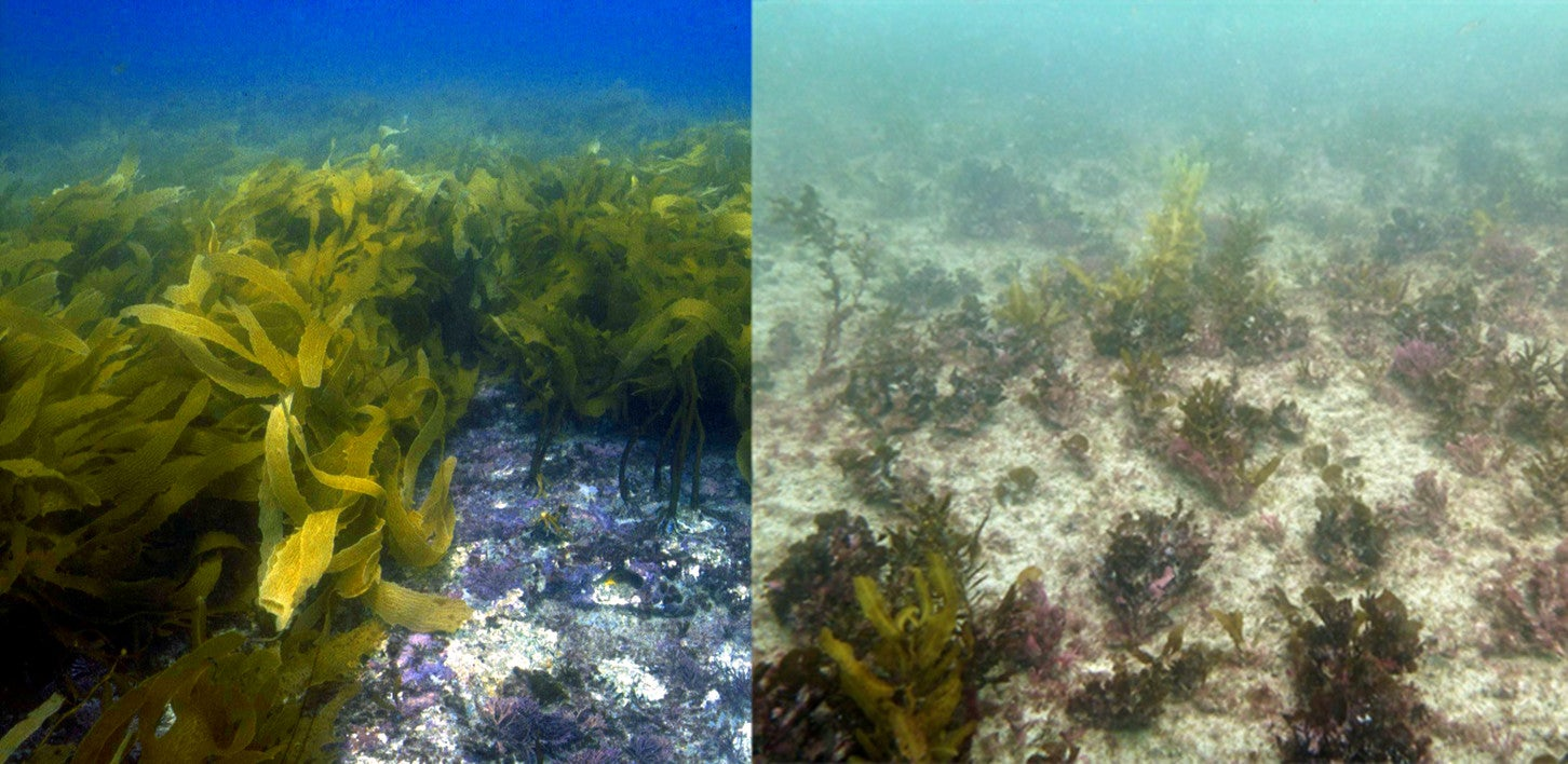 A Vast Australian Underwater Forest Is Roasting To Death