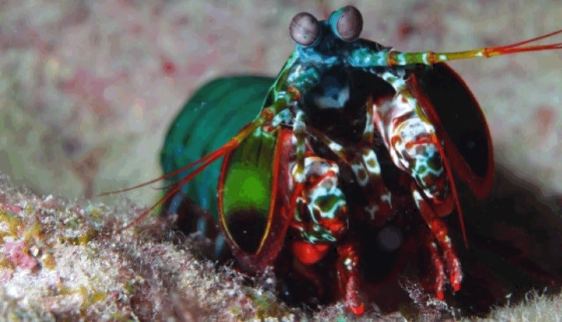 The Mighty Claw of the Mantis Shrimp Inspires Next-Gen Helmets and Body Armour