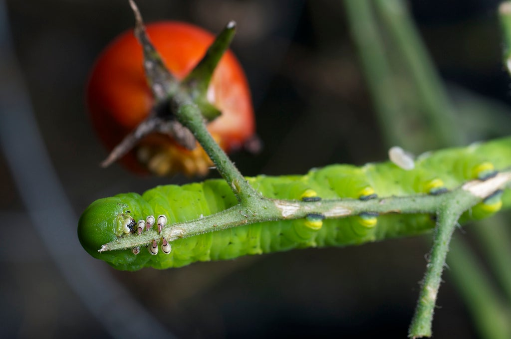Plants Turn Caterpillars Into Cannibals To Save Themselves