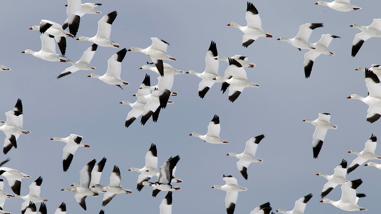 Thousands Of Snow Geese Die After Landing On Toxic Mining Water In Montana