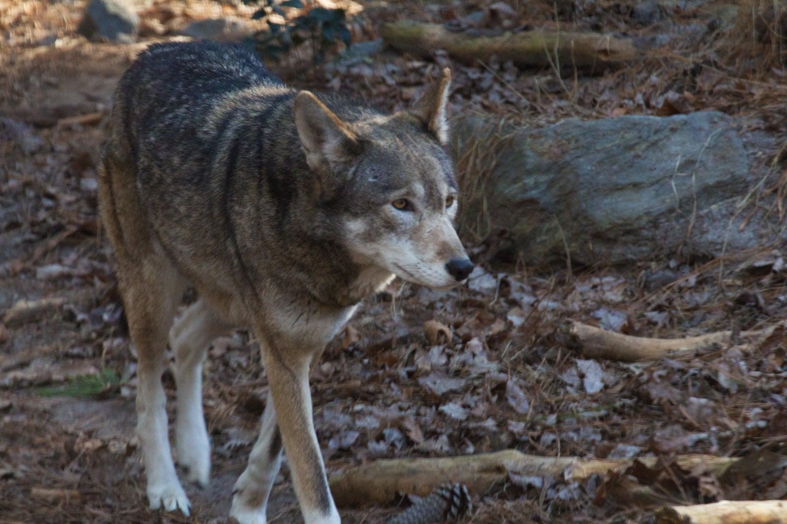 America's Forgotten Wolf Still Lives In North Carolina