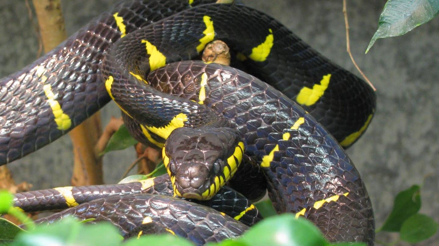 Timid, Secretive, Mildly Venomous Snake Missing At American Zoo In The Middle Of A Thunderstorm