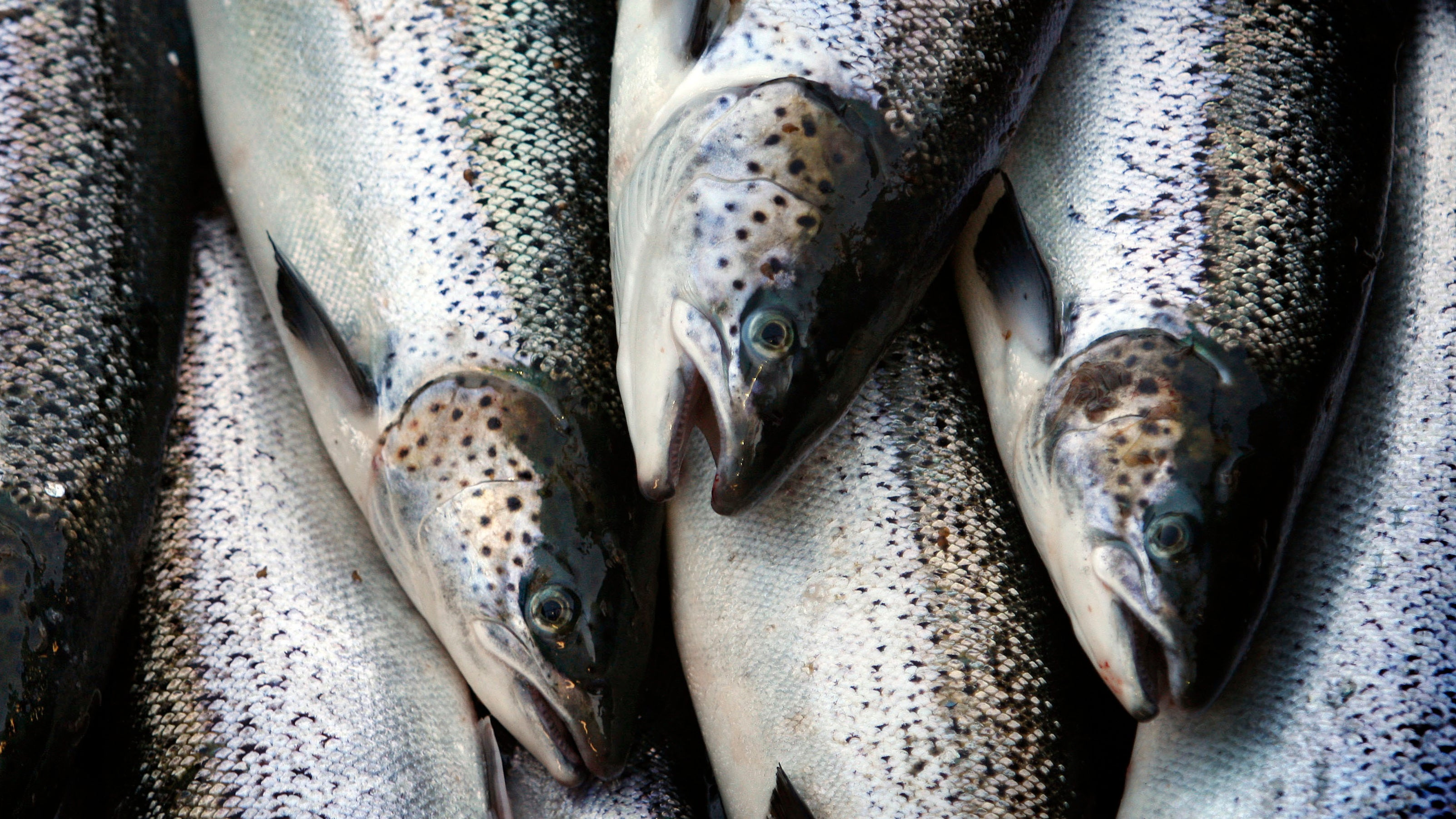 Import Ban On Genetically Modified Salmon In U.S. Lifted