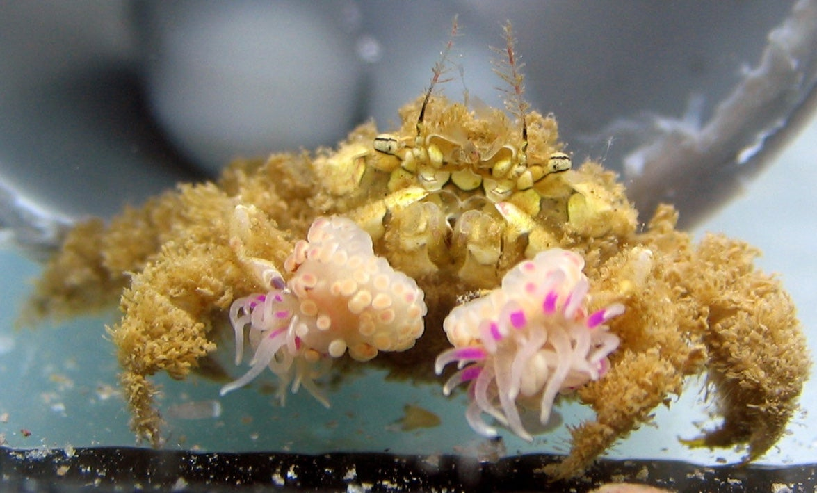 These Pom-Pom Crabs Are Everybody's Super Bowl Mascot