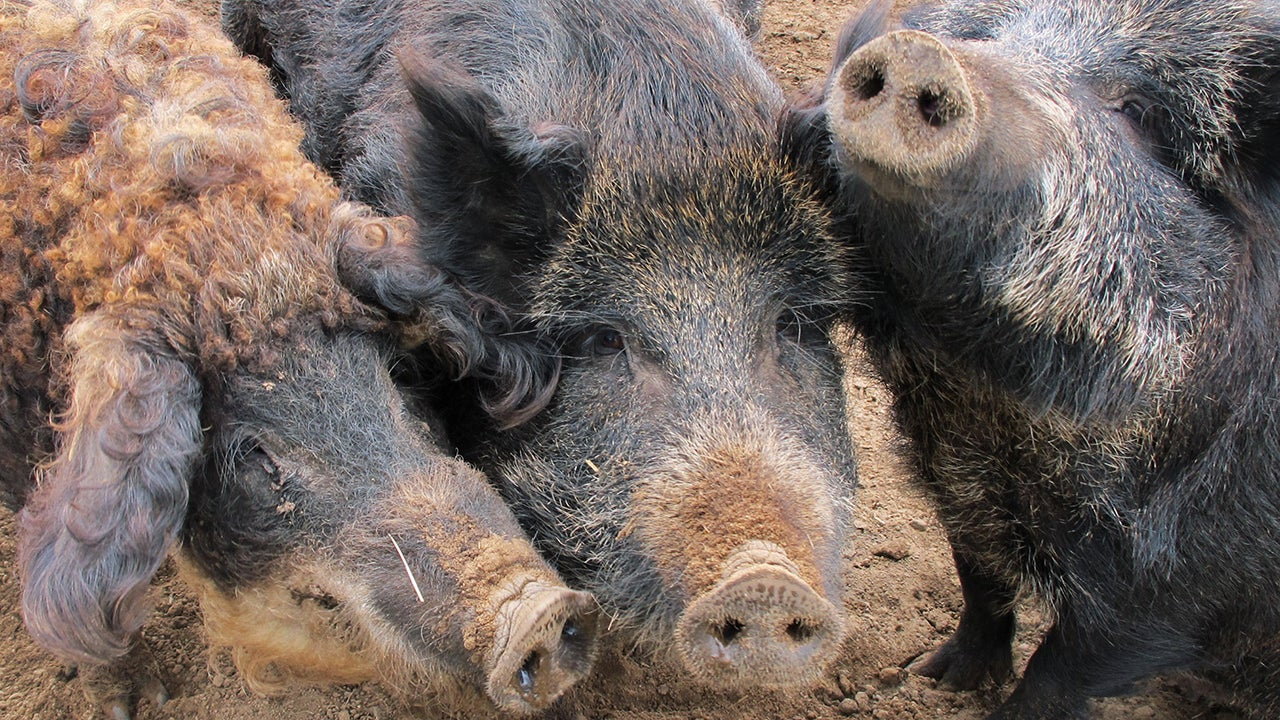 Texas Turns To Chemical Warfare To Bring 'Feral Hog Apocalypse'