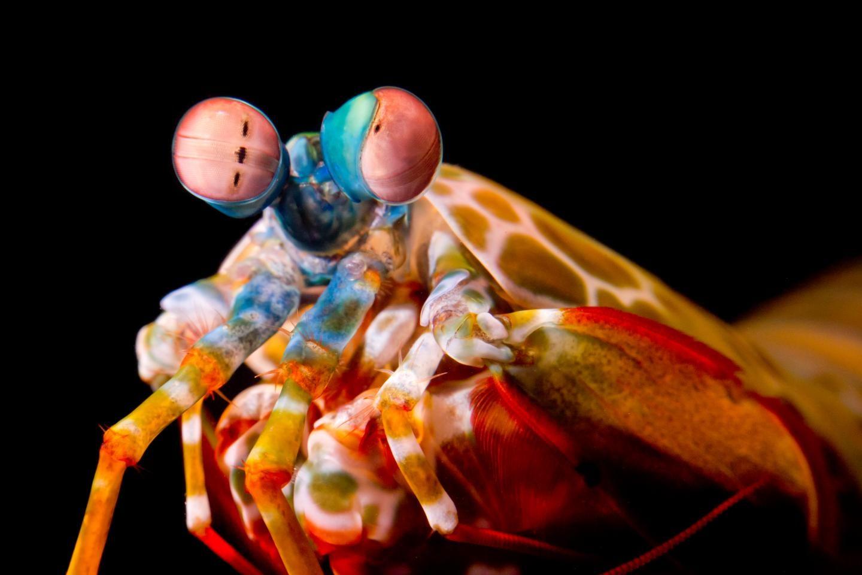 Mantis Shrimp Roll Their Eyes, But For A Good Reason