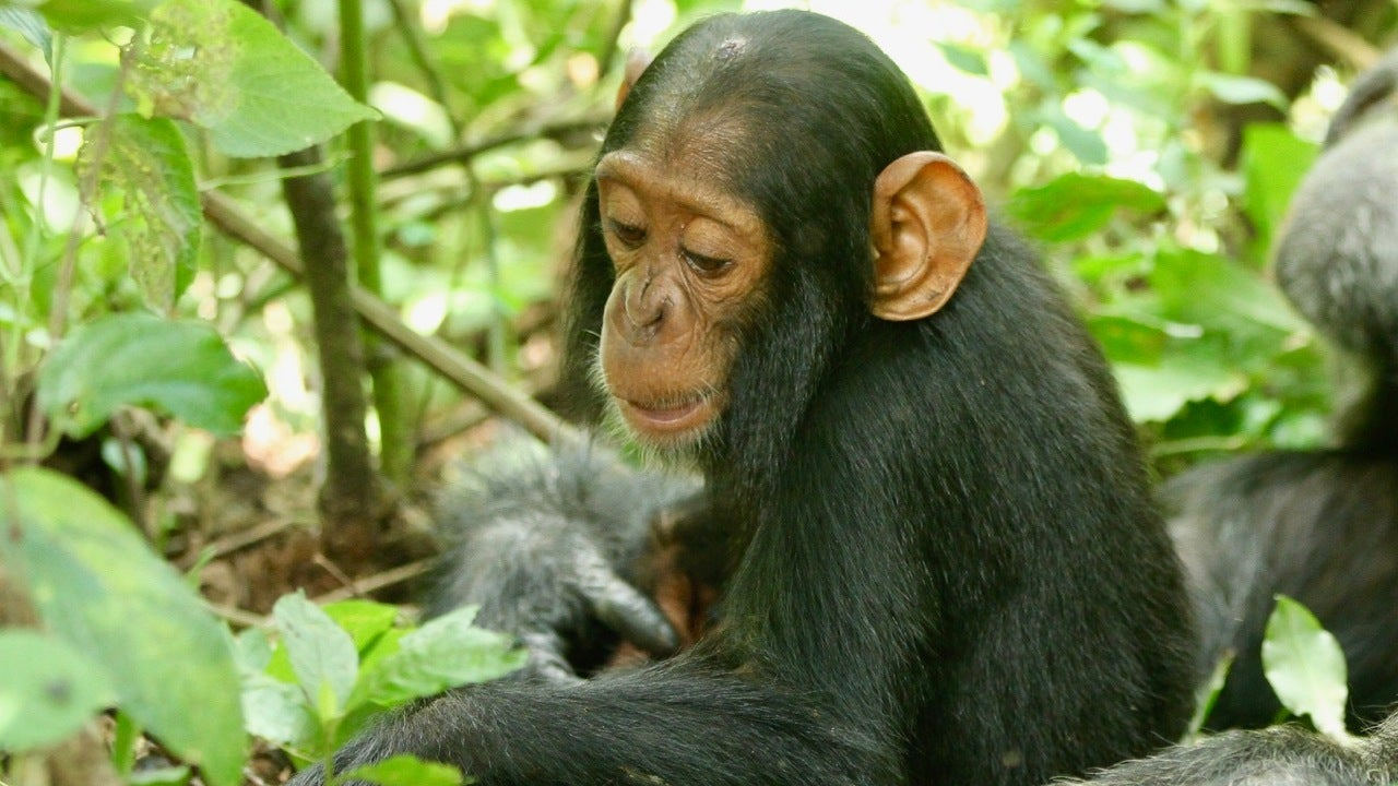 A 2-Year-Old Chimp Named Betty Died From Common Cold Virus We Didn't Even Know Chimps Could Catch