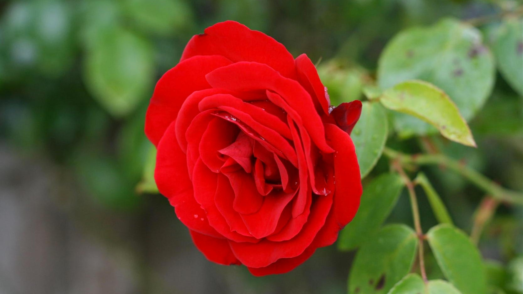 Electronic Roses Could One Day Turn Gardens Into Batteries