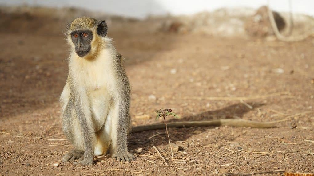 Confronted By Drones, Monkeys Warn Comrades Of 'Incoming Eagle'