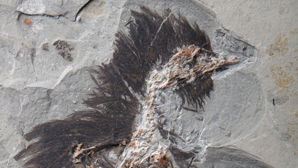 Feathers On This 130-Million-Year-Old Fossil Still Contain Traces Of Colour
