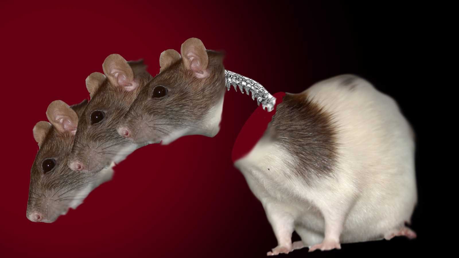 Head Transplant Scientists Re-Attach Rat Spines, Others Not Convinced