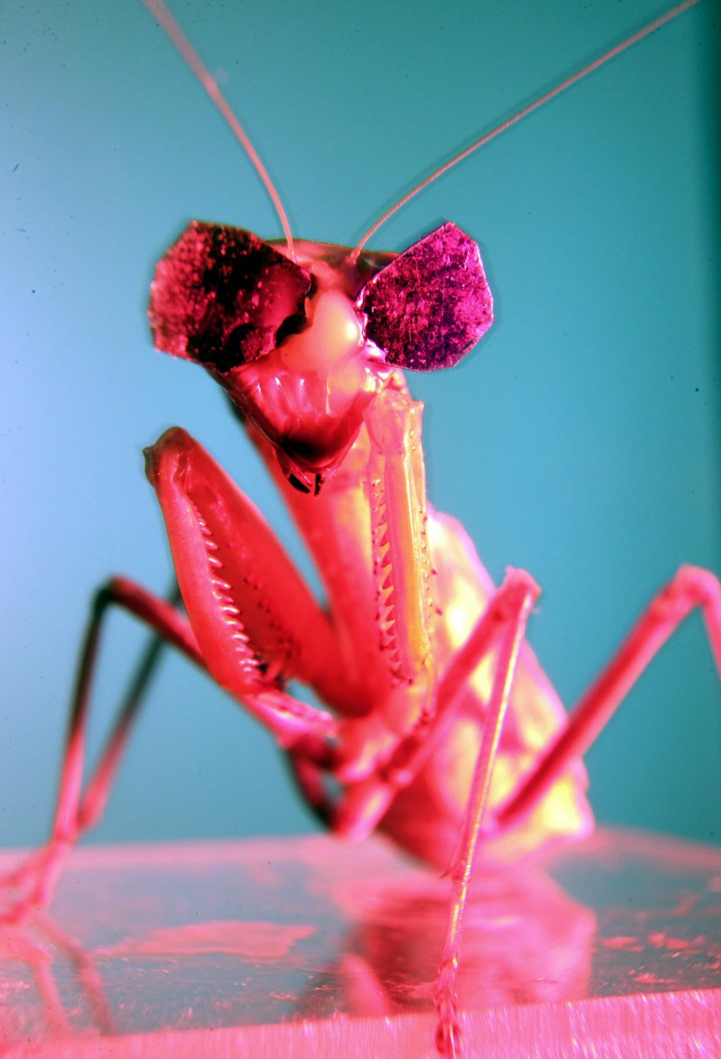 Scientists Gave Praying Mantises Tiny 3D Glasses to Prove They Have 3D Vision