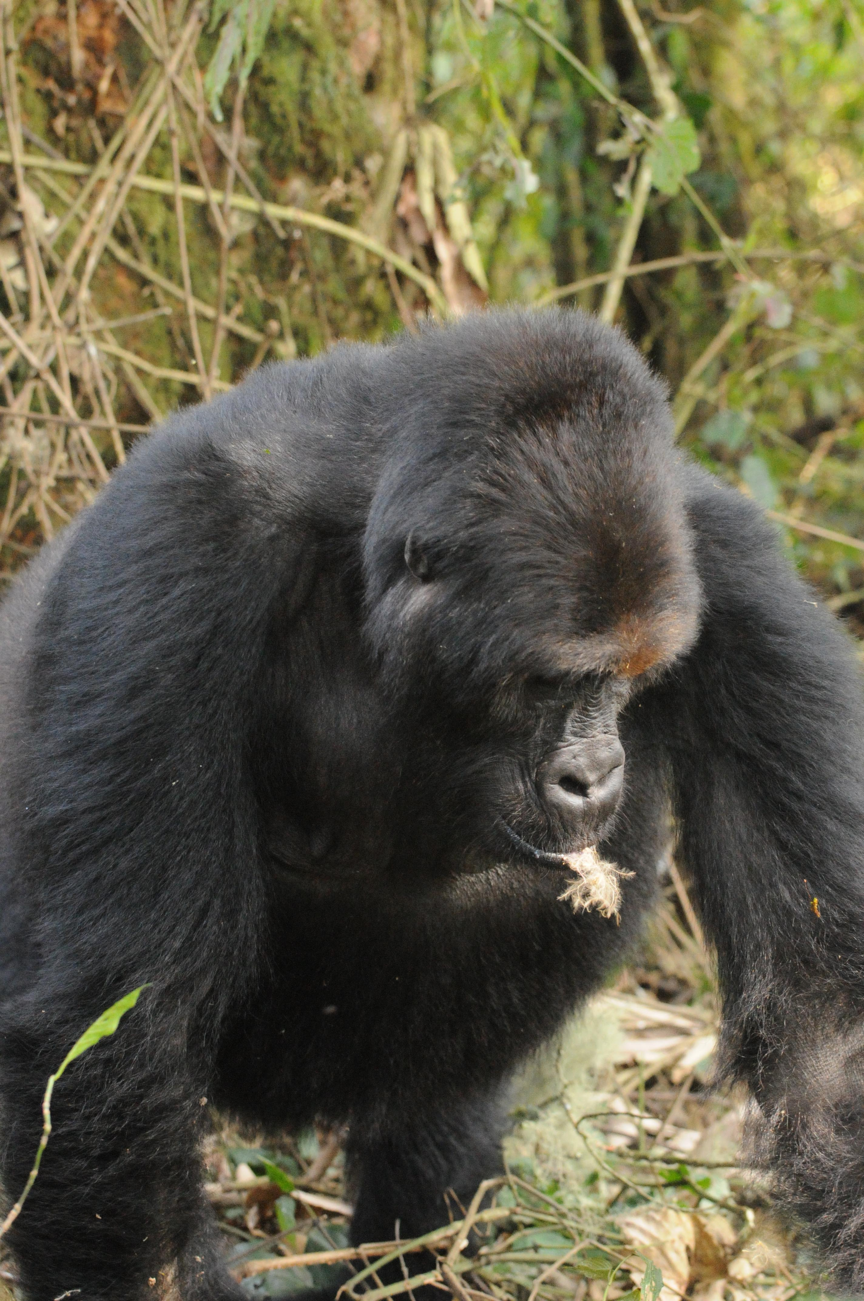 World's Largest Primates Are on the Brink of Vanishing