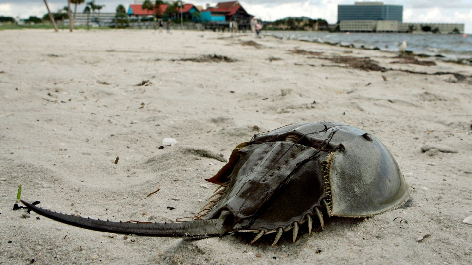Scientists Baffled As Hundreds Of Dead Horseshoe Crabs Wash Ashore In Japan