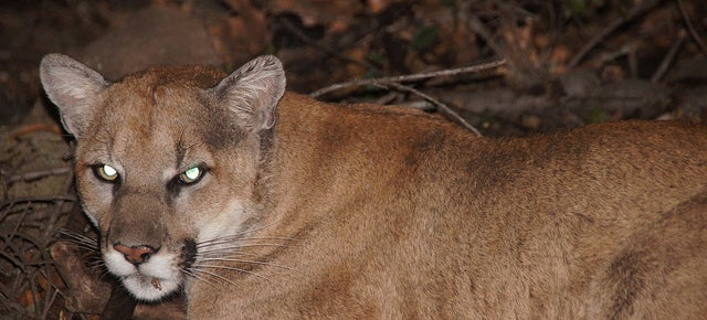 Highways are Making California's Mountain Lions Inbred and Aggressive