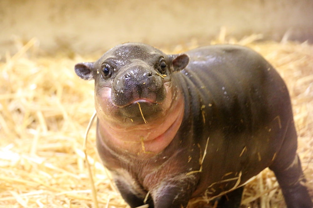 This Baby Pygmy Hippo Is The Cutest Thing On Planet Earth (No Arguing Please)