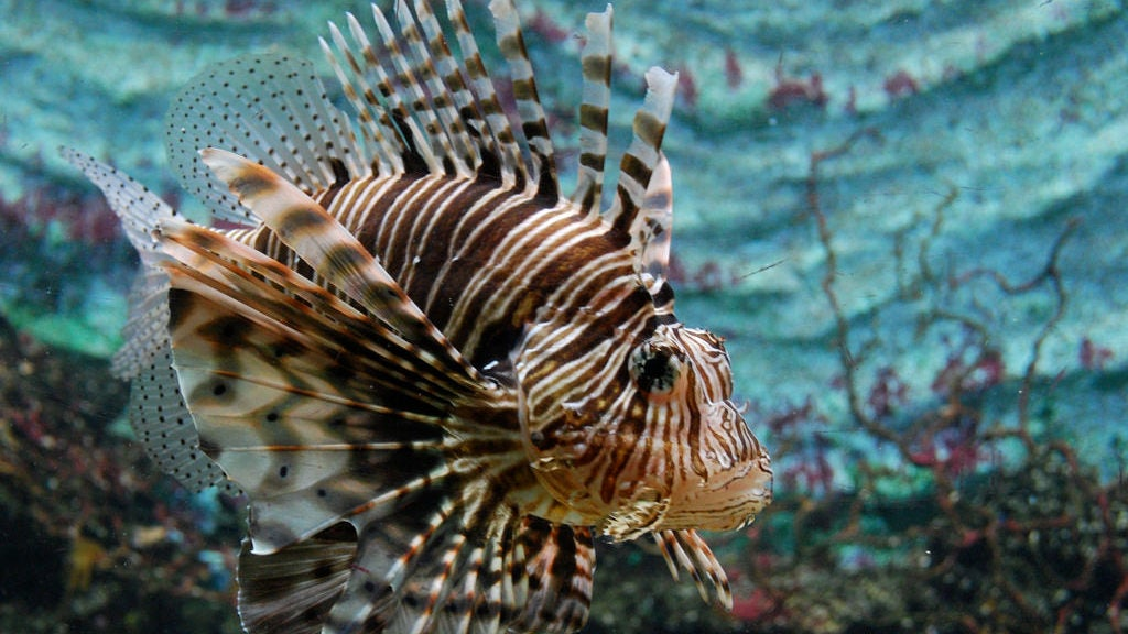 Lionfish Are Eating Fish We Didn't Even Know Existed ...