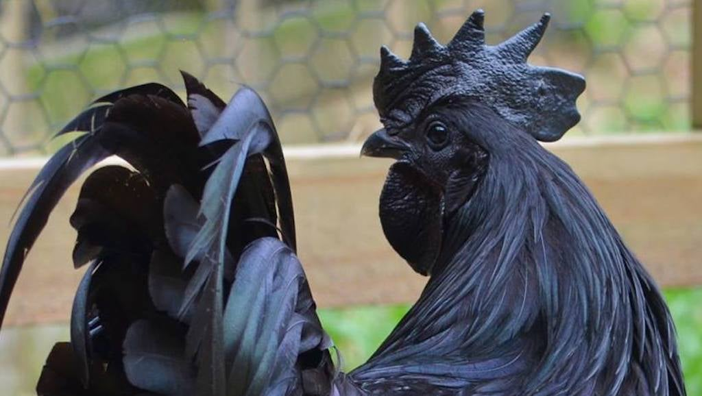 This Goth Chicken Doesn't Conform To Your Perfect Chicken Society
