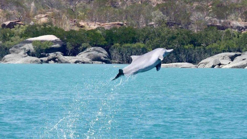 Male Australian Humpback Dolphins Gather Gifts To Get Laid