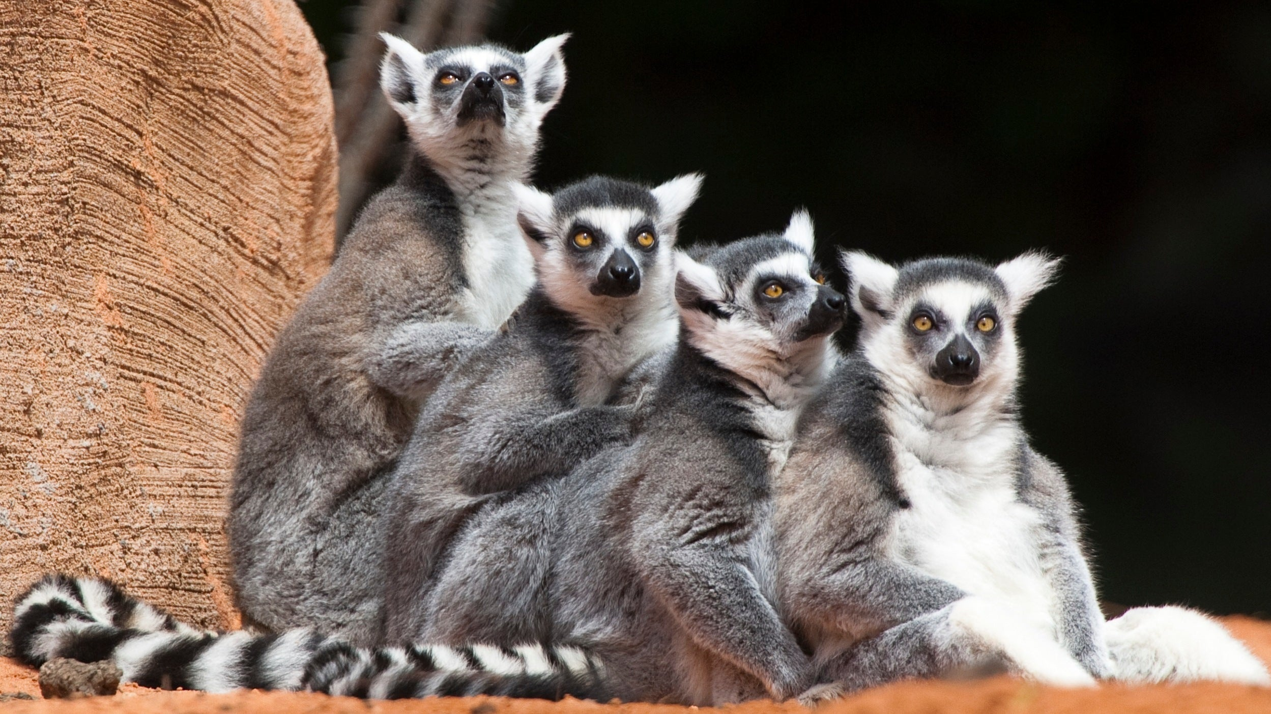 Misidentified Fossils Could Rewrite The History Of Lemurs On Madagascar