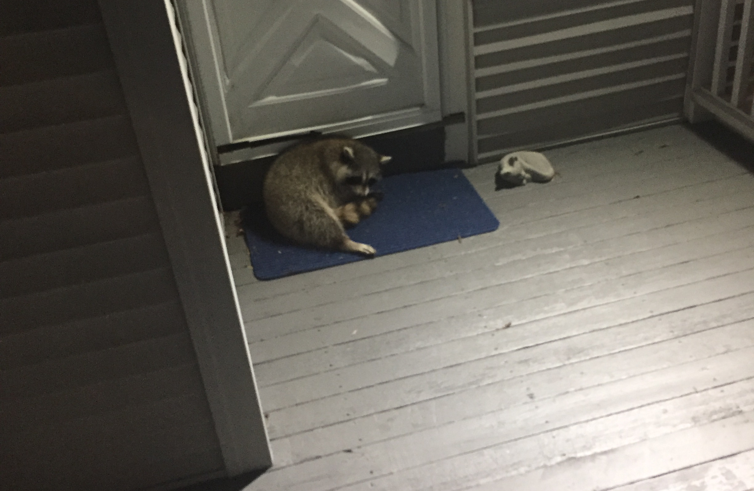 A Raccoon Camped Out On My Back Porch This Week And I Couldn't Stop It