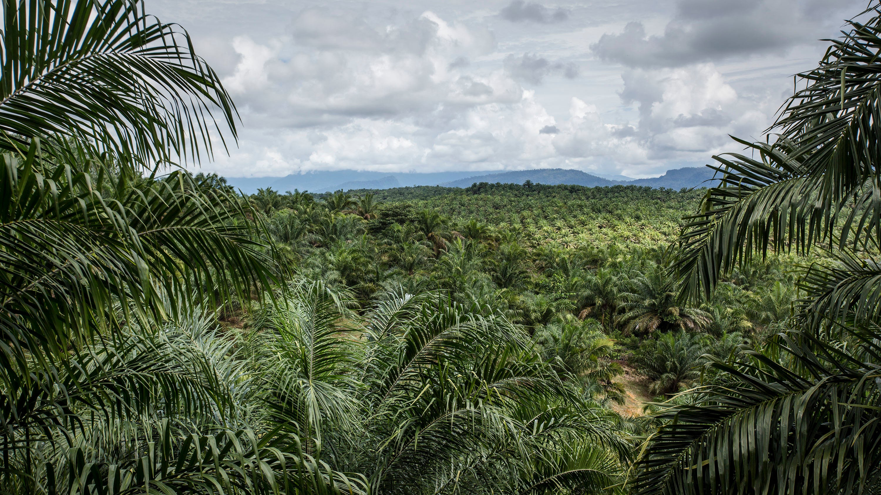 Your Favourite Snacks May Be Driving Deforestation In Ancient Indonesian Peatlands