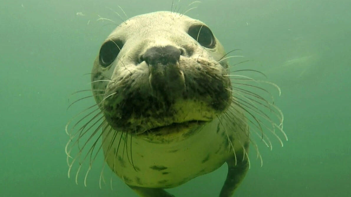 Wild Grey Seals Clap Their Flippers Underwater To Communicate, New Research Suggests