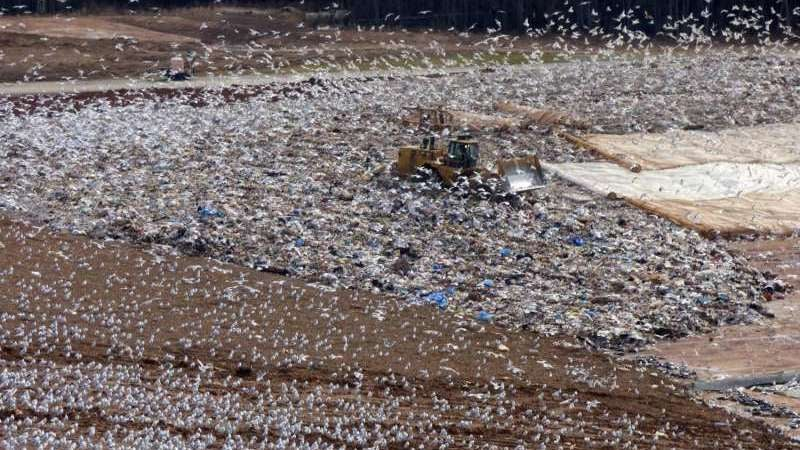 Garbage-Fed Seagulls Are Spoiling America's Lakes And Reservoirs With Their Poop