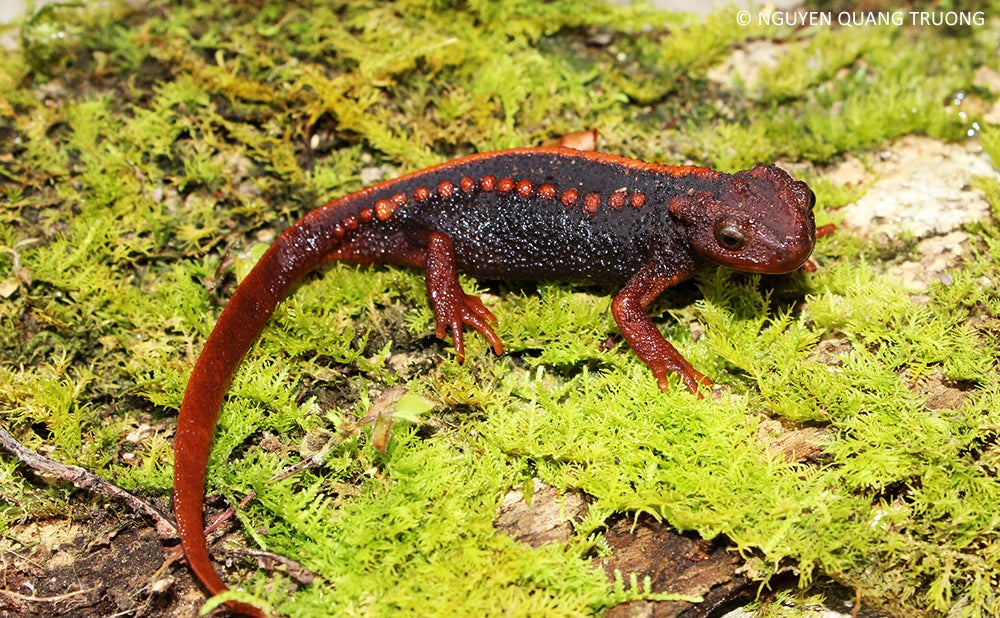 Treasure Trove Of Newly Discovered Species Includes A Newt That Looks Like A Klingon